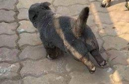 Котопёс или пёсокот? Во Вьетнаме живёт очаровательное пушистое существо, похожее на помесь кошки и собаки (18 фото + видео)