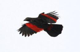 Вы когда-нибудь видели попугая-Дракулу? (5 фото + видео)