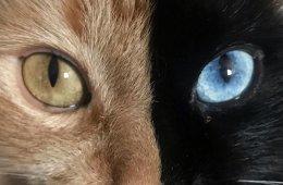 """Венера """"с двумя лицами"""" ─ очаровательная химера из семейства кошачьих (24 фото)"""