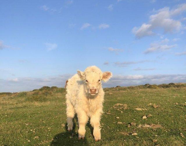 Ничего особенного ─ просто Twitter-аккаунт, в котором каждый день публикуются фотографии коров (30 фото)