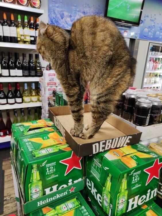 Магазинные кошки, отдыхающие на полках и витринах (33 фото)