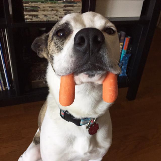 Новая порода собак — моржовая собака