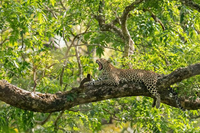 Фотографии индийских леопардов в их естественной среде обитания