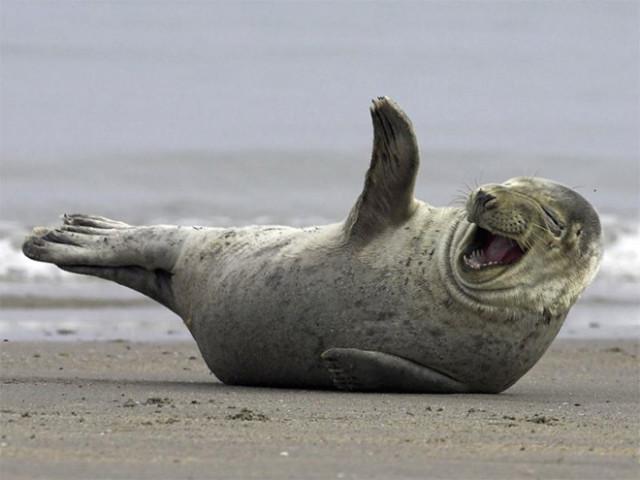 Тюлени, услышавшие самую смешную шутку в мире. ФОТО
