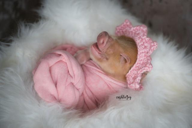 Фотографии новорождённого поросёнка, потому что это всё, что вам сейчас нужно! ФОТО