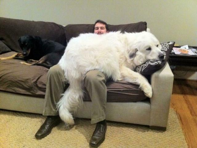 Шерстяные великаны, которые даже не подозревают о своём размере. ФОТО