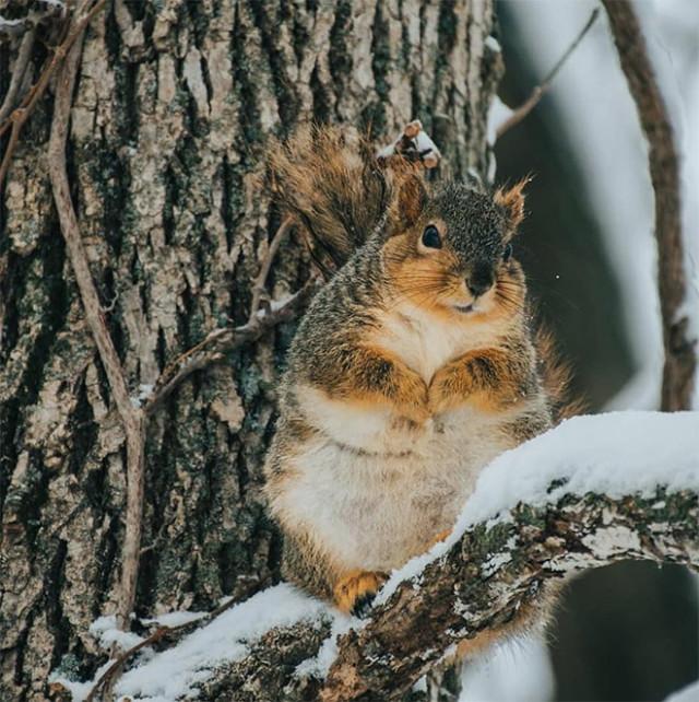 Прекрасные толстые белочки, которые объедаются этой зимой. ФОТО