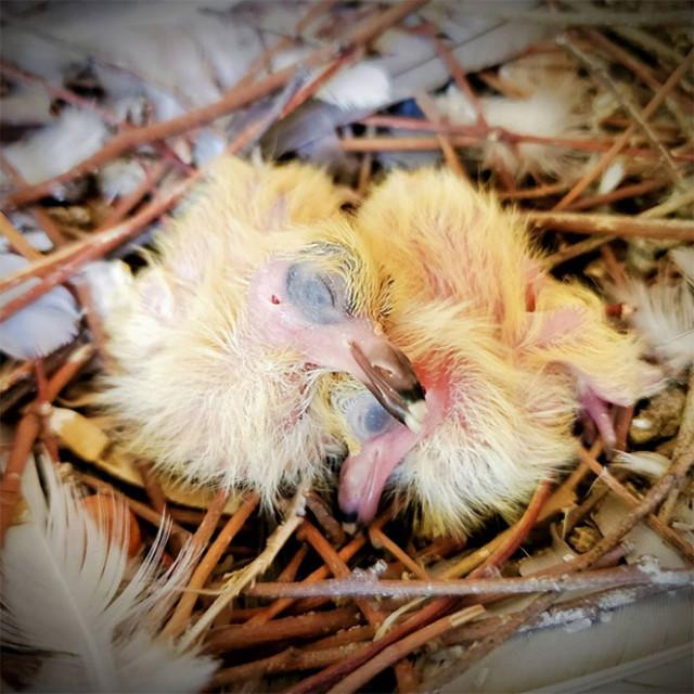 Знаете, почему вы никогда не видели птенцов голубей? Потому что они стесняются своей внешности!