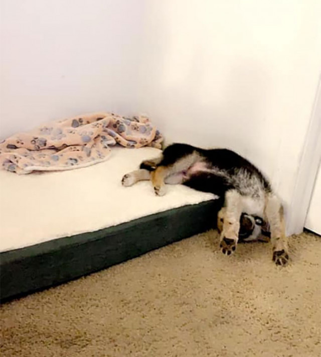 16 собак, которые заснули в самых неожиданных местах и позах