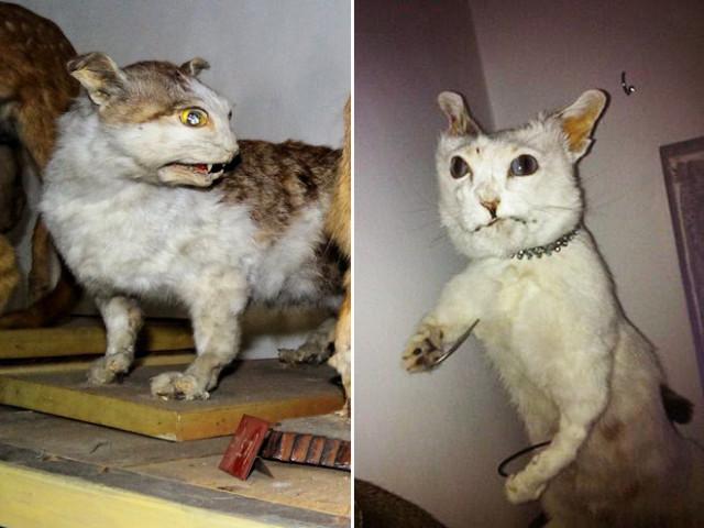 23 фотографии кошек, попавших в руки упоротых таксидермистов