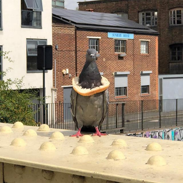 Символ благосостояния среди голубей