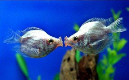 Что делают эти рыбки?