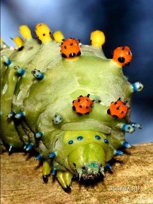 Макросъемка будущей бабочки