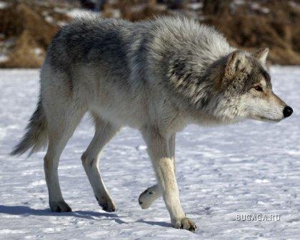 Волки, 10 фото
