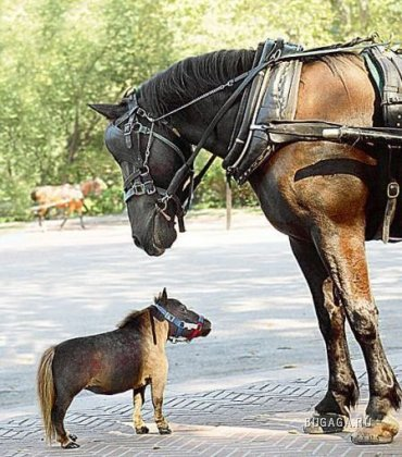 Самая маленькая лошадка в мире