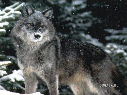 Волки - Цари лесов