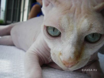Сфинксы - Кошки или пришельцы с других планет?