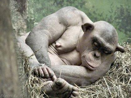 Облысевшая обезьяна - забавно выглядит!