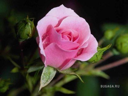Для любителей роз