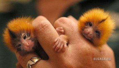 Есть животные ручные, а есть пальцевые:)