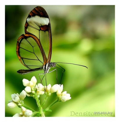 Glasswing butterflyes