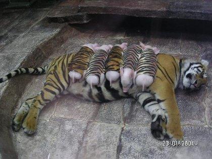 Hеужели тигрица настолько глупа??